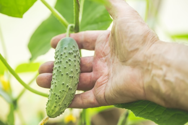 Detalhe de mão enrugada do homem que guarda o pepino na estufa da exploração agrícola.