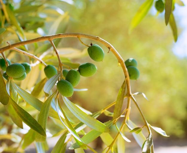 Detalhe, de, oliveira, com, azeitonas verdes, fruta