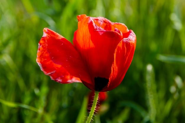 Detalhe de papoila vermelha selvagem em um prado verde do campo.