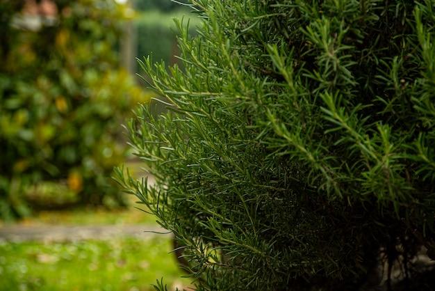 Detalhe de planta de alecrim em um jardim na primavera