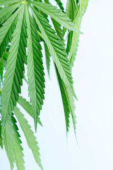 Detalhe de planta de maconha de cannabis