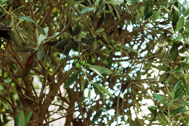 Detalhe, de, ramo oliveira, em, rua, com, verde, bagas