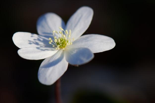 Detalhe de uma flor nemorous anemonoides