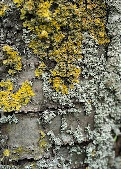 Detalhe de uma mesa de madeira com umidade e fungos a textura da casca de cedro a casca de uma árvore conífera coberta de fungo, líquen