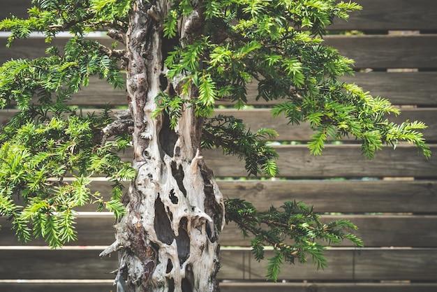 Detalhe de uma velha árvore bonsai de teixo