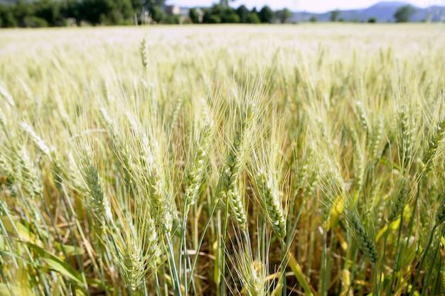 Detalhe do campo de trigo verde
