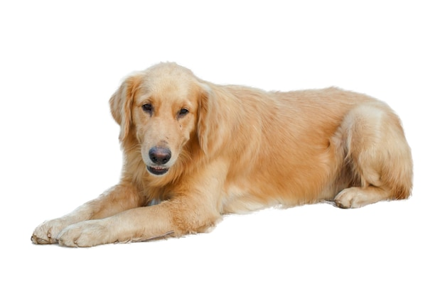 Detalhe do cão do close up isolado animal de estimação