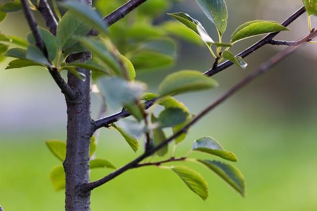 Detalhe do close-up de árvore de fruto isolada com as folhas verdes no fundo gramíneo brilhante do espaço da cópia.