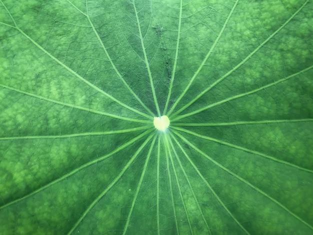 Detalhe e superfície lotus verde folhas fundo abstrato