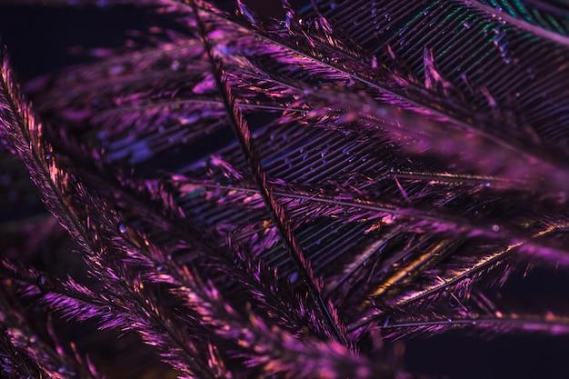 Detalhe macro de pena roxa do pavão