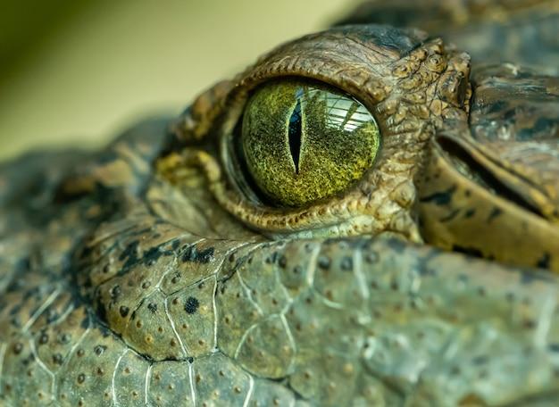 Detalhe no olho de um crocodilo, zoológico de animais