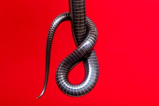 Detalhes da barriga na cauda de uma cobra preta.