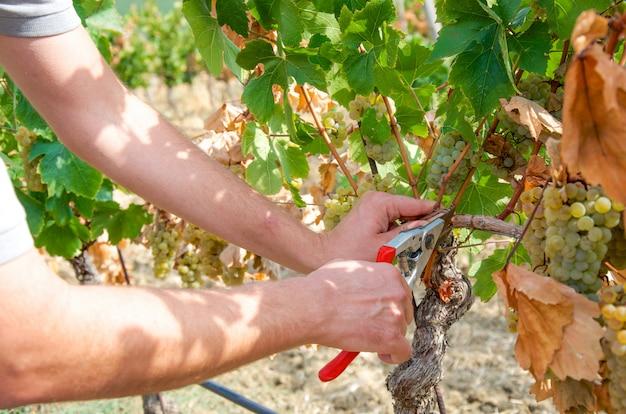 Detalhes da colheita da uva