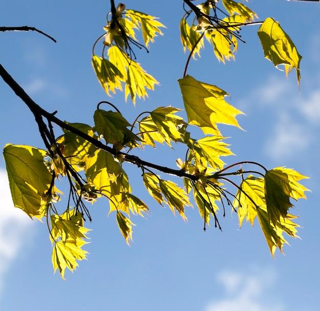 Detalhes da natureza da primavera - uma bela fotografia da folhagem verde de um bordo, iluminada pela luz do sol, que brilha em cada folha, contra o céu azul