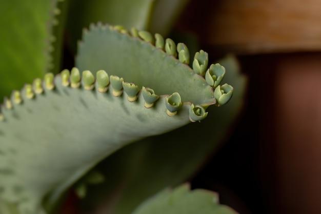 Detalhes das folhas de uma planta crasulácea da espécie kalanchoe laetivirens