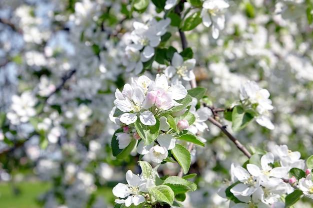 Detalhes de flores de macieira branca