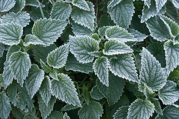 Detalhes de folhas de urtiga geladas