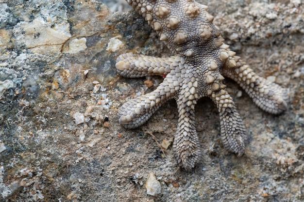 Detalhes de mão de lagartixa comum (tarentola mauritanica)