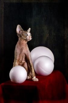 Devon rex raça gatinho em uma mesa vermelha com bolas brancas