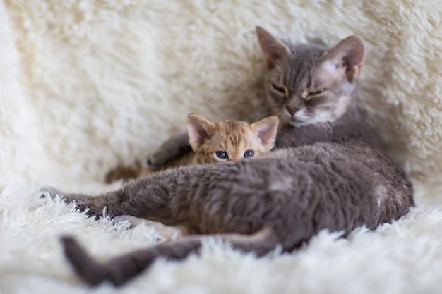 Devonreks gatinho espiando por trás de sua mãe