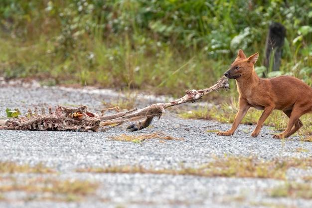 Dhole ou cães selvagens asiáticos comendo uma carcaça de veado no parque nacional de khao yai, tailândia