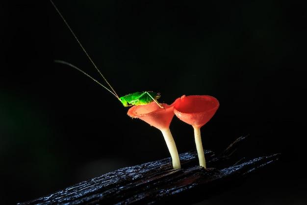 Dia chuvoso e o gafanhoto em cogumelos vermelhos