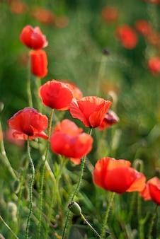 Dia da lembrança, anzac day, serenidade. papoila de ópio, planta botânica, ecologia.