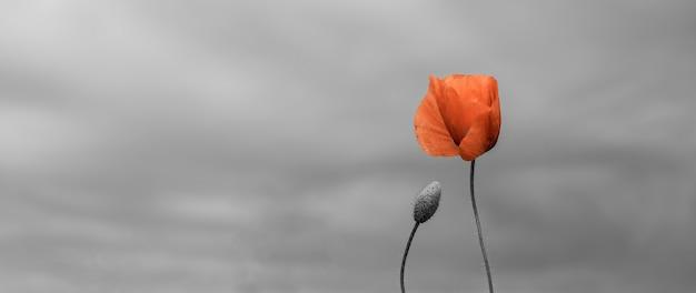 Dia da lembrança, dia dos veteranos, para que não esqueçamos o conceito. fundo de bela natureza com flor de papoula vermelha