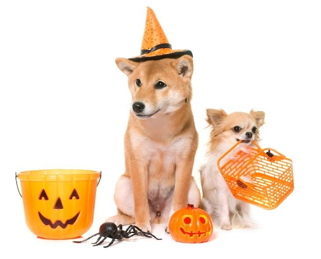 Dia das bruxas e cachorros