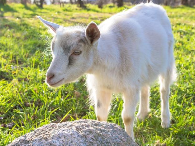 Dia de filhote de cabra na grama entre as árvores