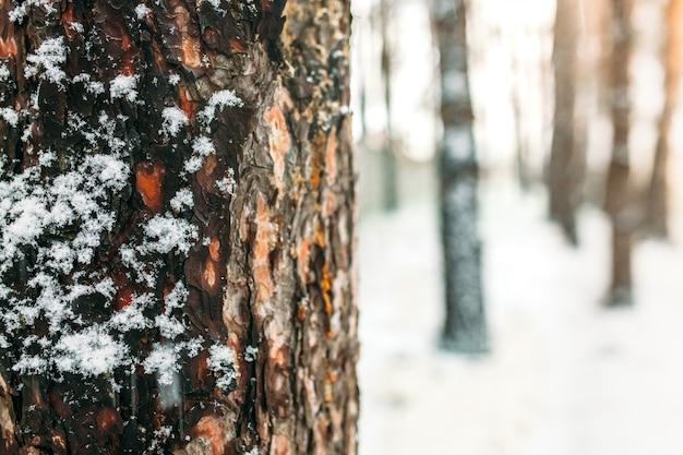 Dia de inverno. a casca da árvore em meio a uma floresta de árvores, na neve