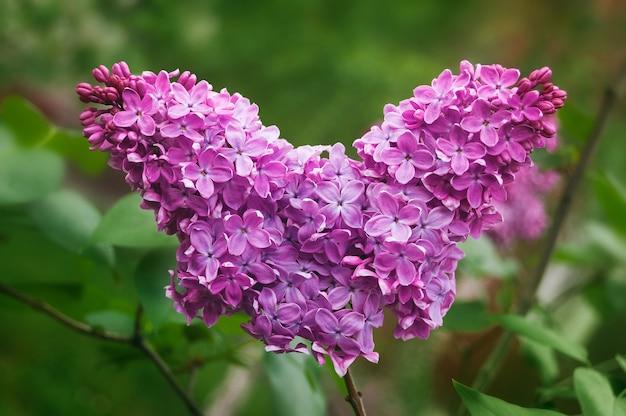 Dia dos namorados coração de flores. um ramo de flor lilás no jardim. beleza na natureza