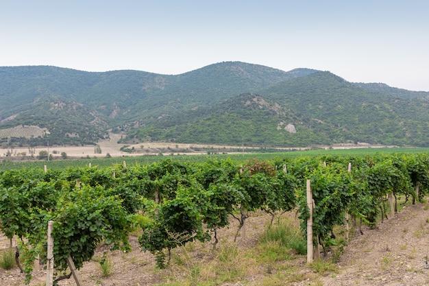 Dia ensolarado de verão em um vale com vinhedos nas montanhas