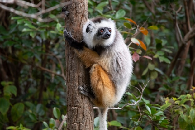 Diademed sifaka abraça a palmeira. sifaka é um gênero de primatas da família indriaceae, distribuído apenas na ilha de madagascar.
