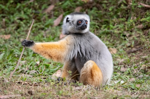Diademed sifaka lemur. sifaka é um gênero de primatas da família indriaceae, distribuído apenas na ilha de madagascar.