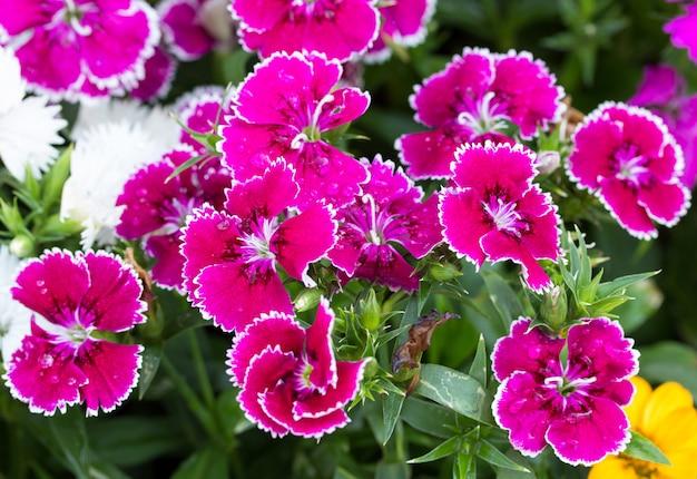 Dianthus flor no jardim, (dianthus chinensis)