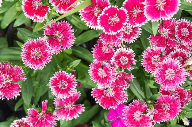 Dianthus flor no jardim lindas flores