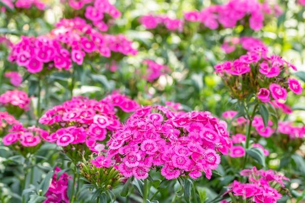 Dianthus flores cor de rosa em flor, em estilo desfocado suave, entre a luz do sol brilhante e folhas verdes, foco em primeiro plano, macro.