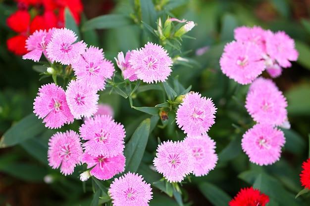 Dianthus rosa em flor, as flores estão desabrochando no inverno.