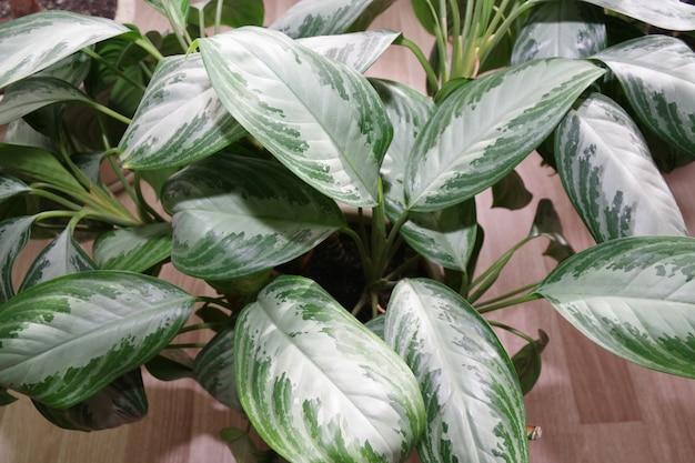 Dieffenbachia de planta de casa exótica em vaso close up de folhas verdes de dieffenbachia