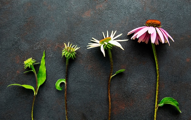 Diferentes estágios de crescimento da flor de equinácea em uma superfície de concreto preto