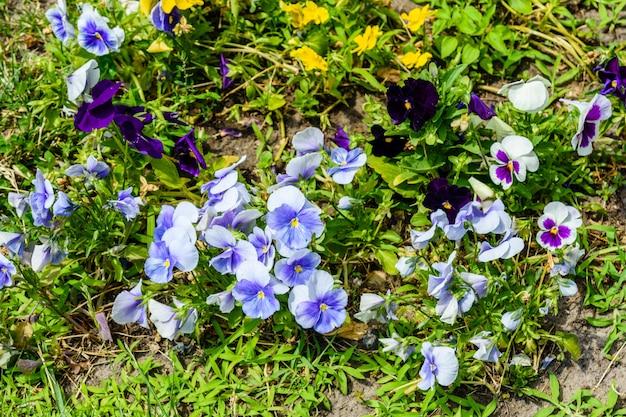 Diferentes flores de viola em um canteiro de flores em um jardim