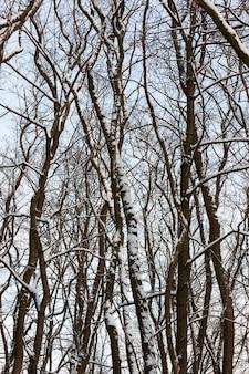 Diferentes raças de árvores decíduas sem folhagem no inverno, árvores cobertas de neve após nevascas e nevascas no inverno