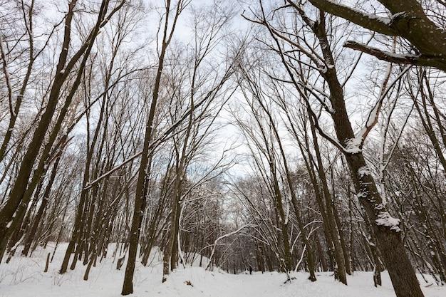 Diferentes tipos de árvores decíduas nuas sem folhagem no inverno, árvores nuas cobertas de neve após nevascas e nevascas no inverno