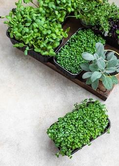 Diferentes tipos de micro-verdes em recipientes germinação de sementes em casa