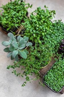 Diferentes tipos de micro-verduras em recipientes germinação de sementes em casa micro-telas crus orgânicas