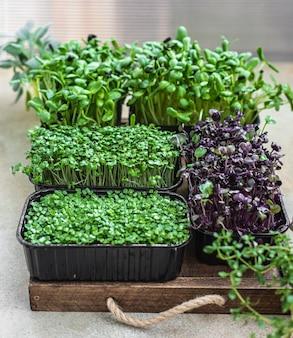 Diferentes tipos de micro-verduras em recipientes germinação de sementes em casa vegan e conceito de alimentação saudável