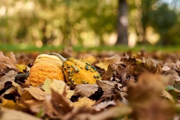 Diferentes variedades de abóboras estão nas folhas de outono.