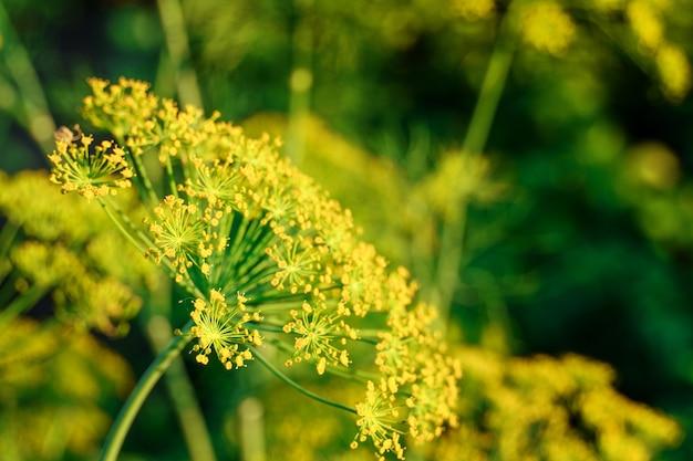 Dill florescendo. fundo verde com flores amarelas de endro