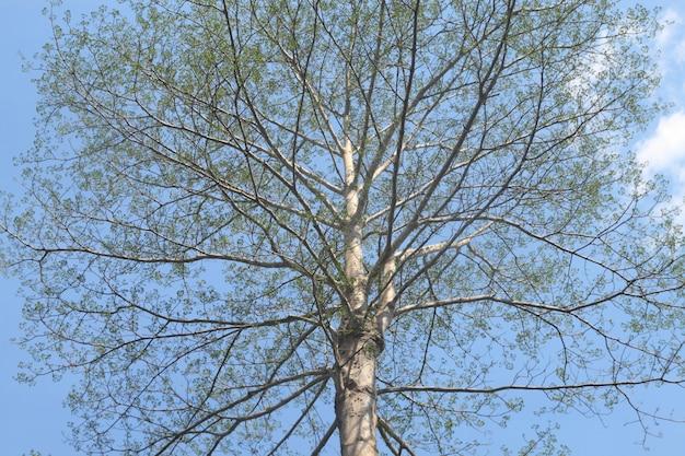 Dipterocarpus alatus, ramo da grande árvore no céu azul